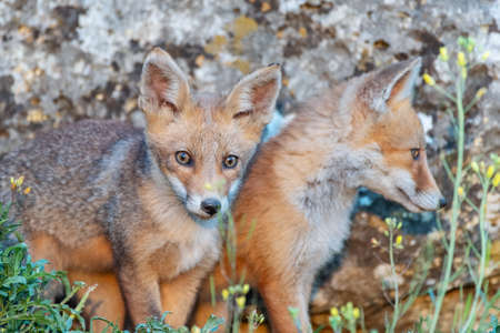Two young foxes close up. Vulpes vulpes.