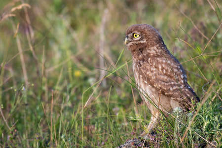 The Little Owl Athene noctua, standing in the grass. Portrait.