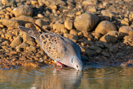 European Turtle dove, Streptopelia turtur drinks water.