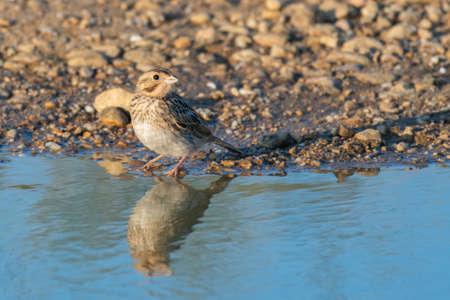Bird near the pond drink the water. Emberiza calandra. Close up.