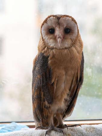 Common barn owl. Tyto alba, close up. Stockfoto
