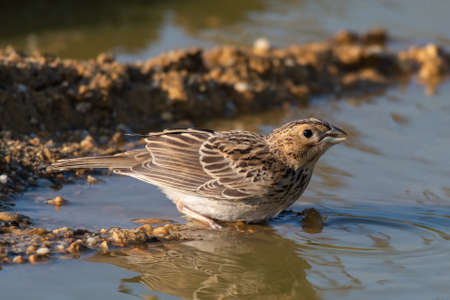 Bird near the pond drink the water. Emberiza calandra.