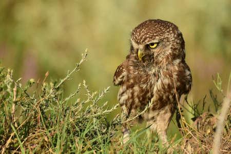 The Little Owl Athene noctua, standing in the grass. Portrait. Stockfoto - 151908280