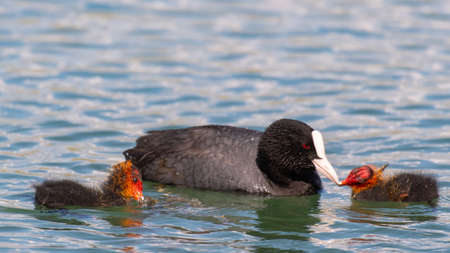 European coot Fulica atra feeding her chick on the lake. Stockfoto - 152369680