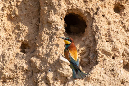 European bee-eater. Merops apiaster sits in his hole. Banque d'images