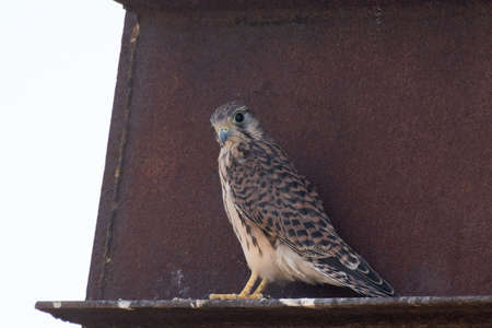 Young european common Kestrel sits on metal. Falco tinnunculus.
