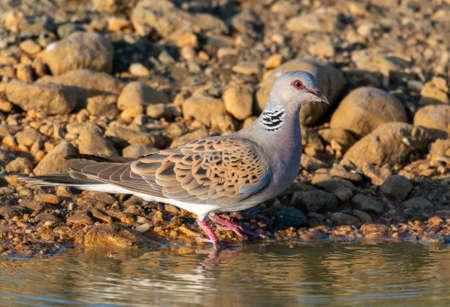 European Turtle dove, Streptopelia turturat the watering hole.