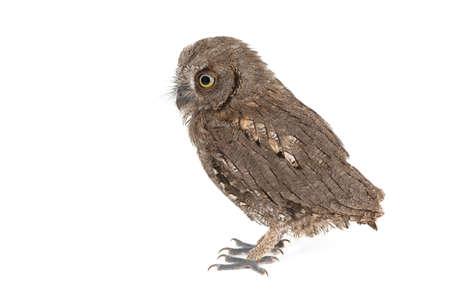 European scops owl Otus scops, isolated on white background.