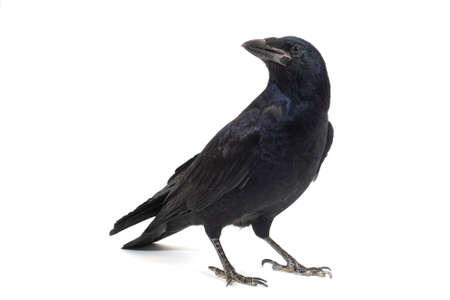 Common Raven Corvus corax, isolated on white background. Stockfoto