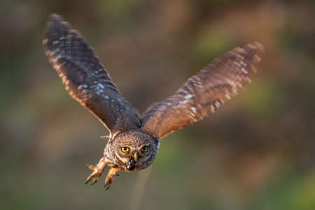 Little owl Athene noctua is flying with prey.