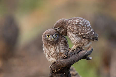 Two Little owl Athene noctua sitting on a stick on a beautiful background.