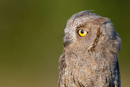 European Scops Owl, Otus scops close up portrait. Stockfoto