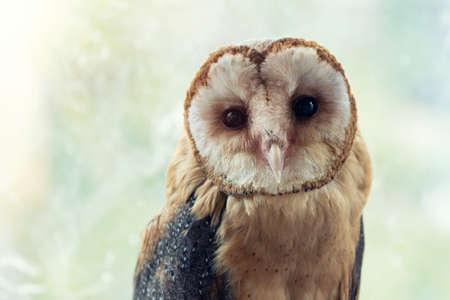 Common barn owl. Tyto alba, portrait close up.