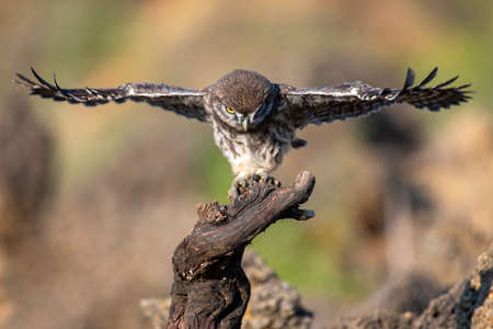 Young little owl Athene noctua is flying. Banque d'images