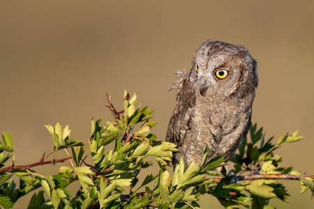 European Scops Owl, Otus scops close up. Banque d'images