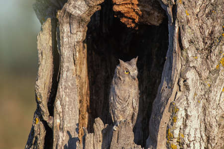 Scops Owl looking out of nesthole. Otus scops.