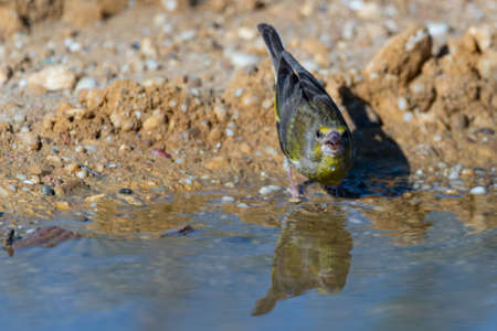 Bird near the pond drink the water. Chloris chloris greenfinch. Banque d'images