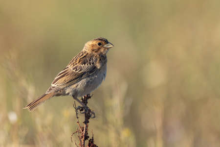 Corn bunting Emberiza calandra sits on a plant on a beautiful background. Banque d'images