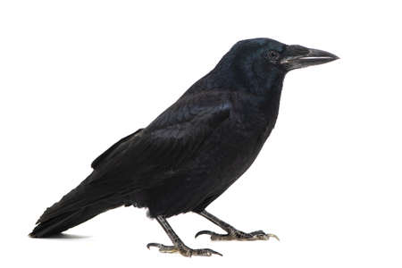 Common Raven Corvus corax, isolated on white background. Banque d'images