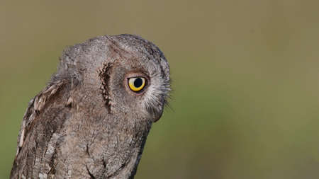 European Scops Owl, Otus scops close up portrait. Banque d'images