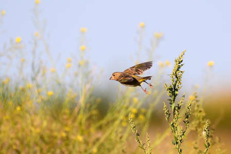 Greenfinch bird in flight. Chloris chloris female.