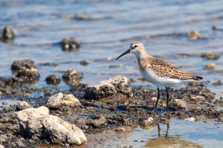 Bird sandpiper Calidris ferruginea, walk through shallow water.