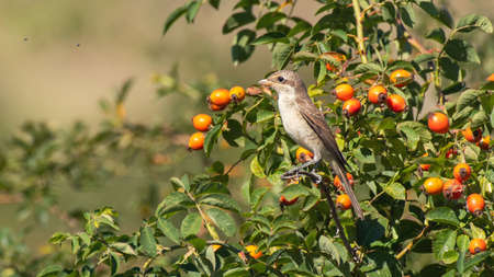 Red-backed Shrike, Lanius collurio, sitting on a Bush with berries in the beautiful light.