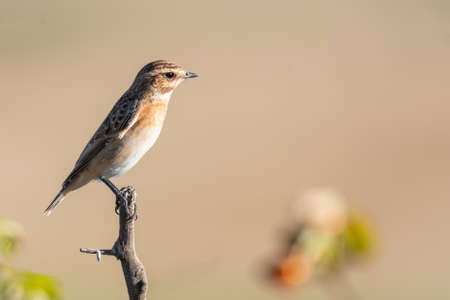 Whinchat Saxicola rubetra female, sitting on branch in a beautiful light.