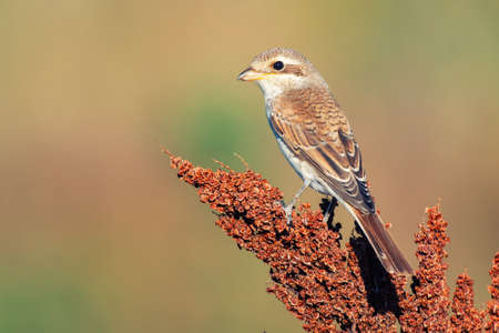 Red-backed Shrike, Lanius collurio, sitting on a branch in a beautiful light.