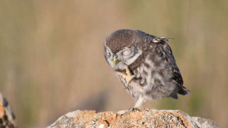Little owl Athene noctua stands on a stone with her paw raise. Banque d'images