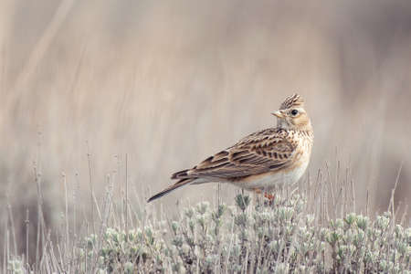 Eurasian Skylark, Alauda arvensis, in the habitat close up.
