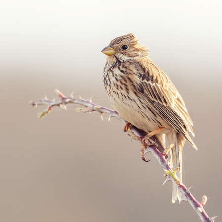 Corn Bunting Miliaria calandra songbird on a beautiful background. Banque d'images