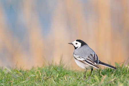 White wagtail motacilla alba, in a beautiful light. Close up.