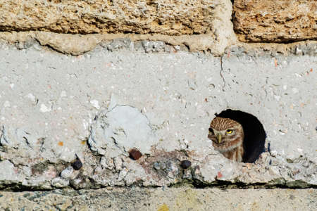 Little owl Athene noctua sits in a hole. Banque d'images