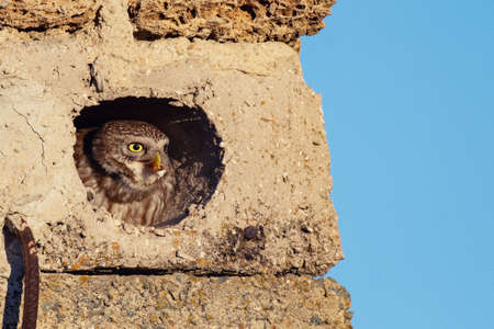 Little owl Athene noctua sits in a hole with prey in its beak.