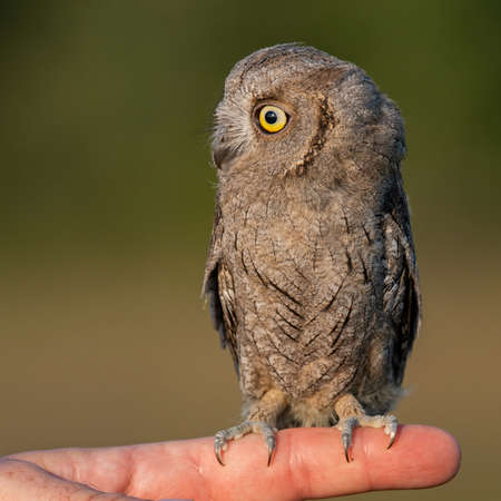 Young European scops owl Otus scops sitting on hand. Banque d'images
