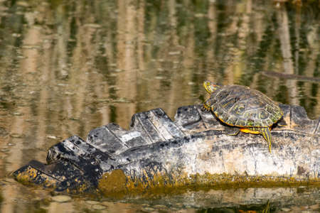 Red Eared Terrapin Trachemys scripta elegans, in the habitat. Banque d'images