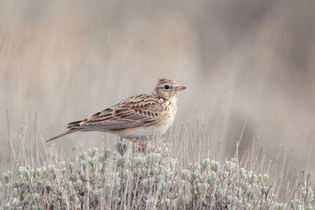 Eurasian Skylark, Alauda arvensis, in a beautiful light environment.