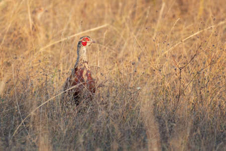 Birds - Common Pheasantin the habitat, Phasianus colchicus. Banque d'images