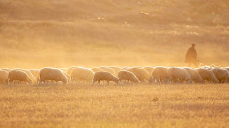 A flock of sheep in a meadow. In the beautiful rays of the setting sun.