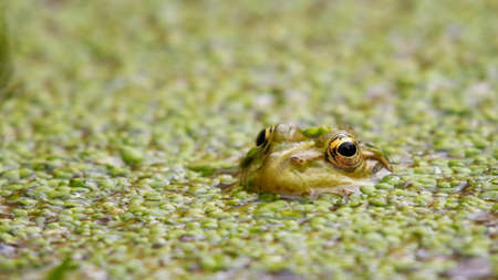 European Marsh Frog Pelophylax ridibundus, hiding in lemna. Close up Banque d'images