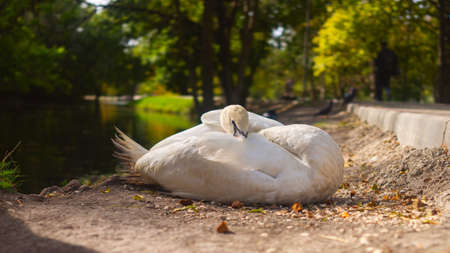 Resting swan on the autumn river at sunrise. Cygnus olor
