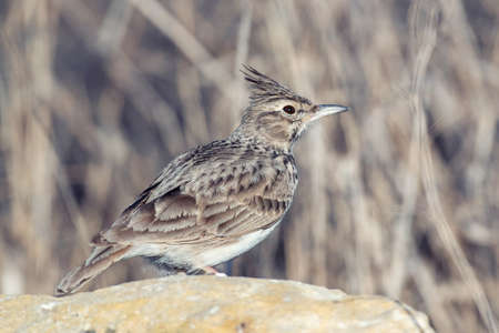 Crested lark Galerida cristata, in natural habitat close up. Banque d'images