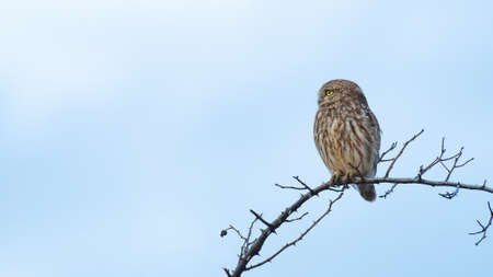 Portrait of a little owl Athene noctua, owl sits on a stick against the sky. Banque d'images