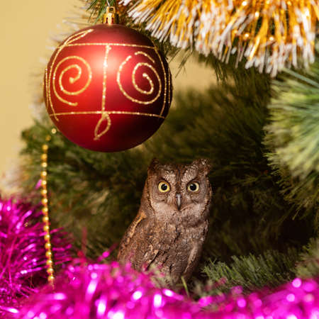 Scops Owl Otus scops. Owl sits in a Christmas tree next to Christmas toys.