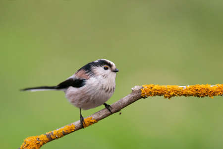 Long tailed tit bird in the wild. Banque d'images