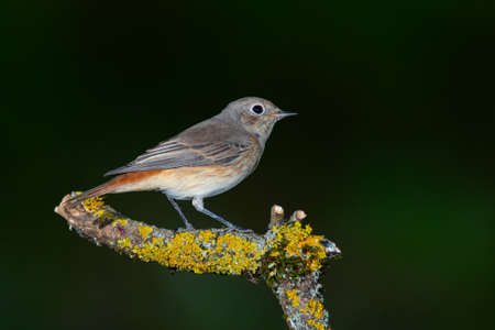 Common Redstart Phoenicurus phoenicurus on a branch.