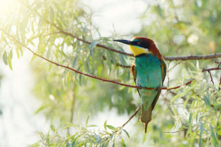European bee-eater Merops Apiaster in natural habitat.