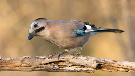 Eurasian jay is sitting on a branch on a beautiful Sunny background, Garrulus glandarius.