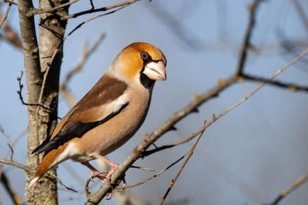 Hawfinch sits on a branch in its natural habitat. Coccothraustes coccothraustes. Banque d'images